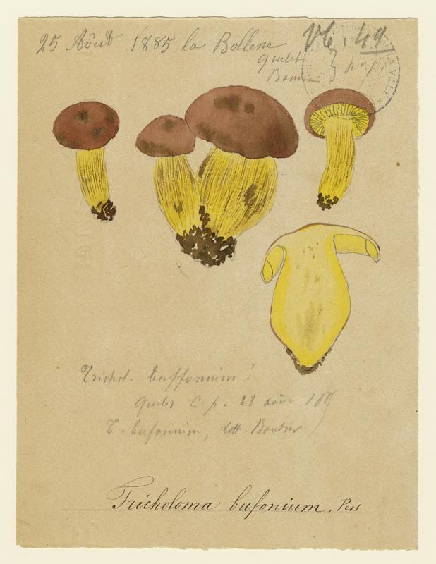 Tricholome pourpre ; champignon