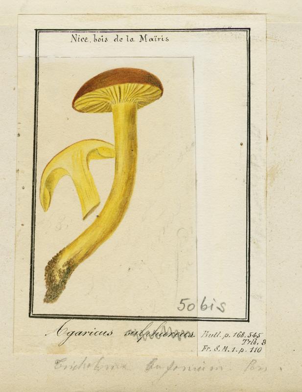 BARLA Jean-Baptiste (attribué à) : Tricholome soufré, champignon
