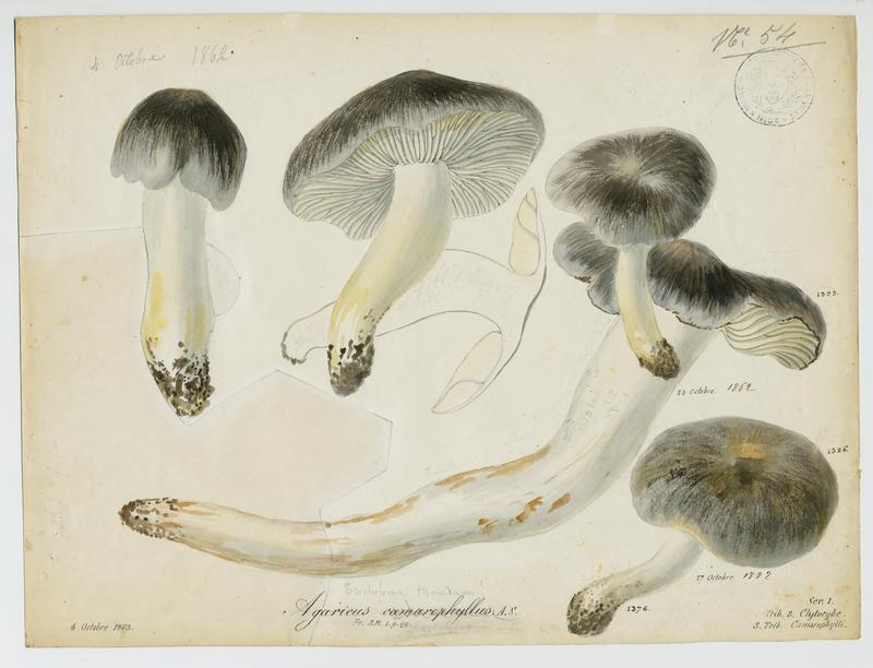 Hygrophore des chèvres ; champignon