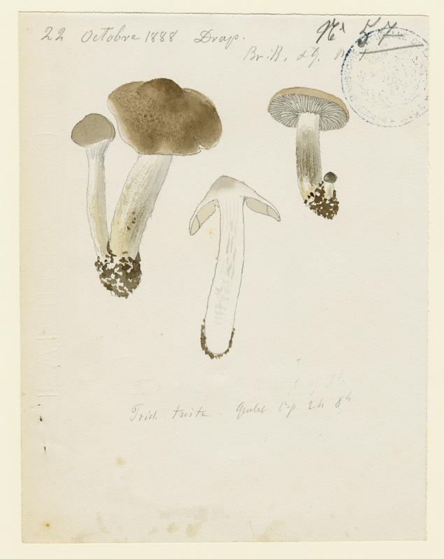 Tricholome triste ; champignon_0