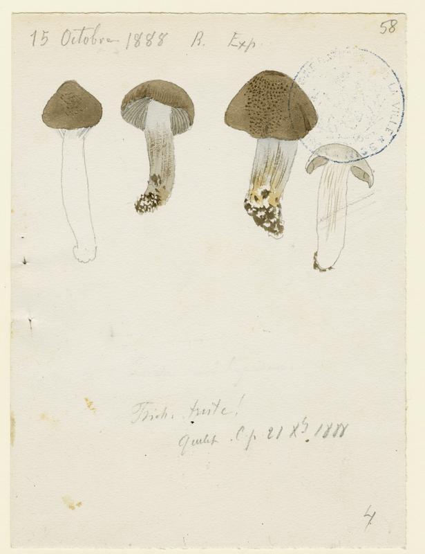 BARLA Jean-Baptiste (attribué à) : Tricholome triste, champignon