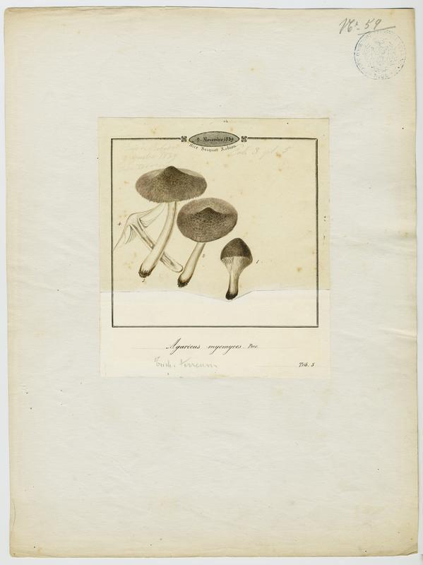 BARLA Jean-Baptiste (attribué à) : Tricholome gris souris, champignon