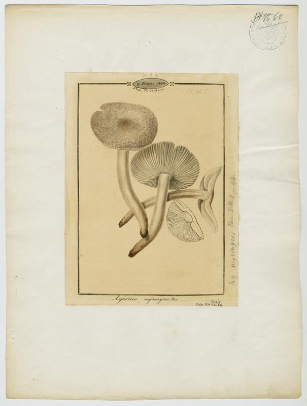 Tricholome gris souris ; champignon_0