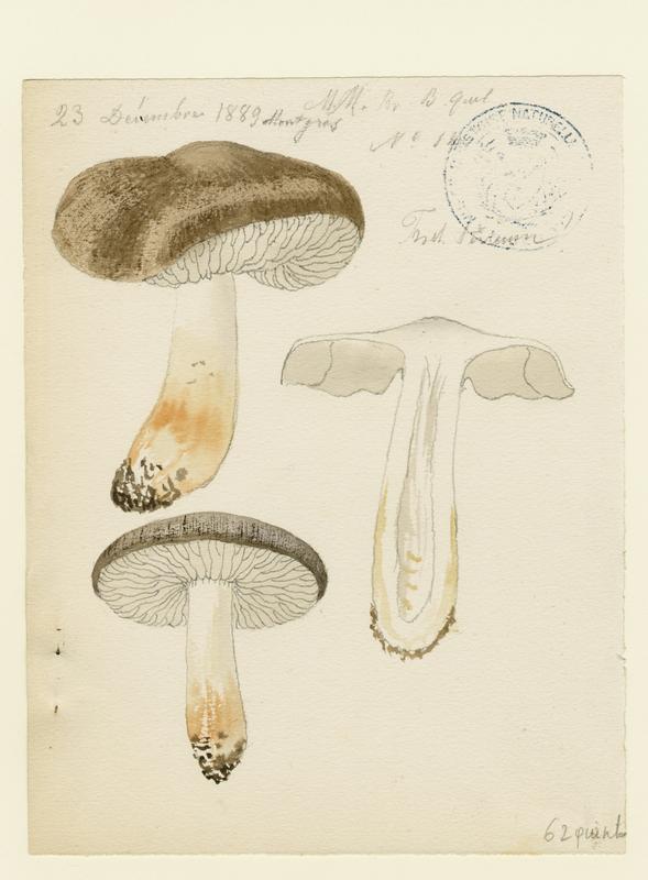 BARLA Jean-Baptiste (attribué à) : Tricholome terreux, Petit gris, Charbonnier, champignon