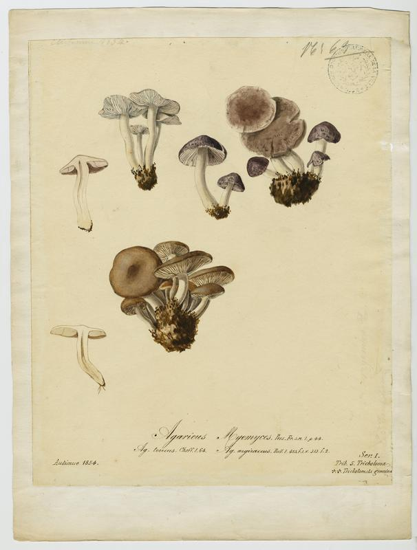 BARLA Jean-Baptiste (attribué à) : Tricholome argenté,  Tricholome gravé, champignon