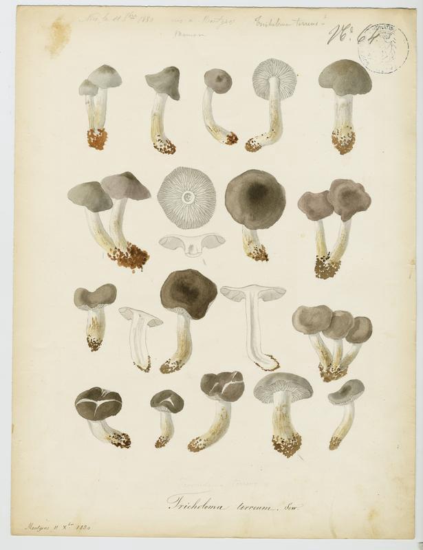 Tricholome  terreux ; champignon_0