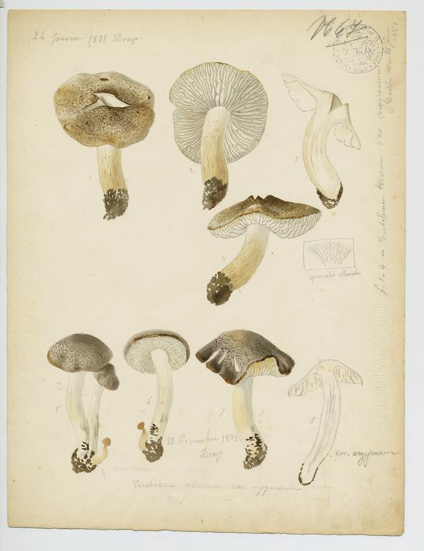 Tricholome terreux (?) ; champignon_0