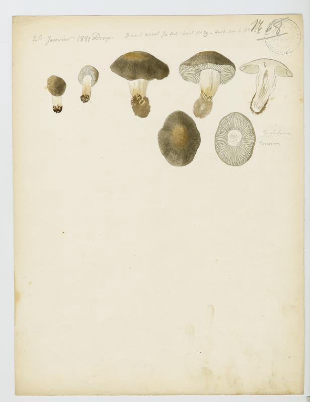 Tricholome terreux ; Petit gris ; Charbonnier ; champignon_0