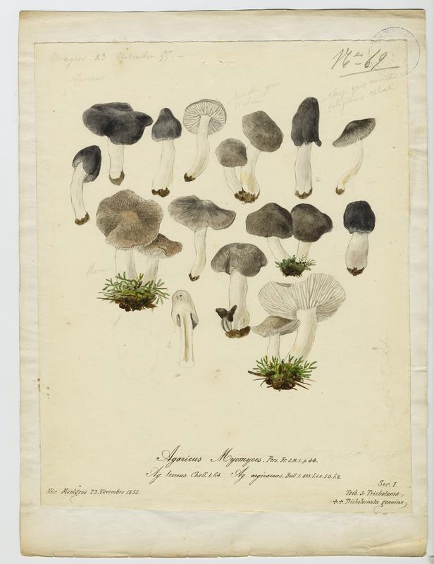 Tricholome argenté ; Tricholome gravé ;  champignon_0