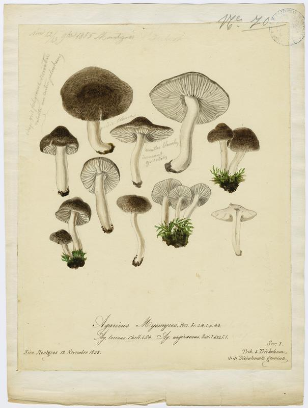 Tricholome argenté ;  Tricholome gravé ; champignon