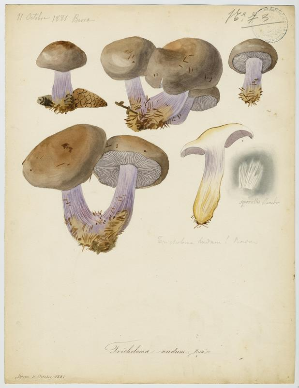 Pied-bleu ; champignon_0