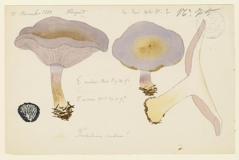 Pied-bleu ; champignon