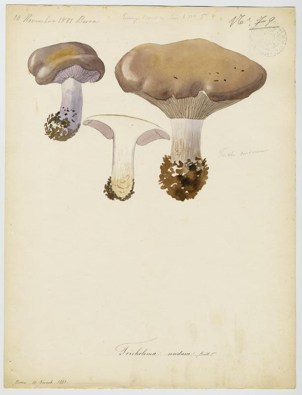 BARLA Jean-Baptiste (attribué à) : Pied-bleu, champignon