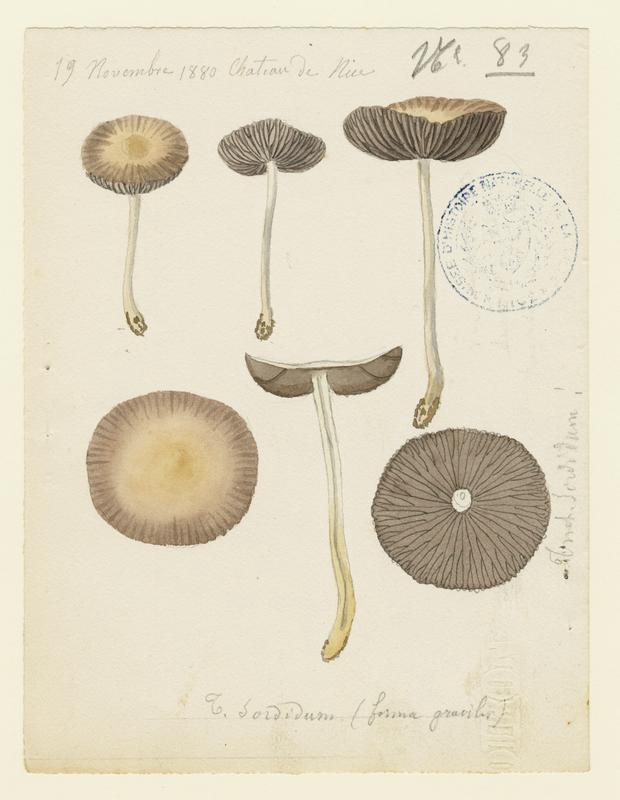 Tricholome sordide ; Lépiste sordide ; champignon_0