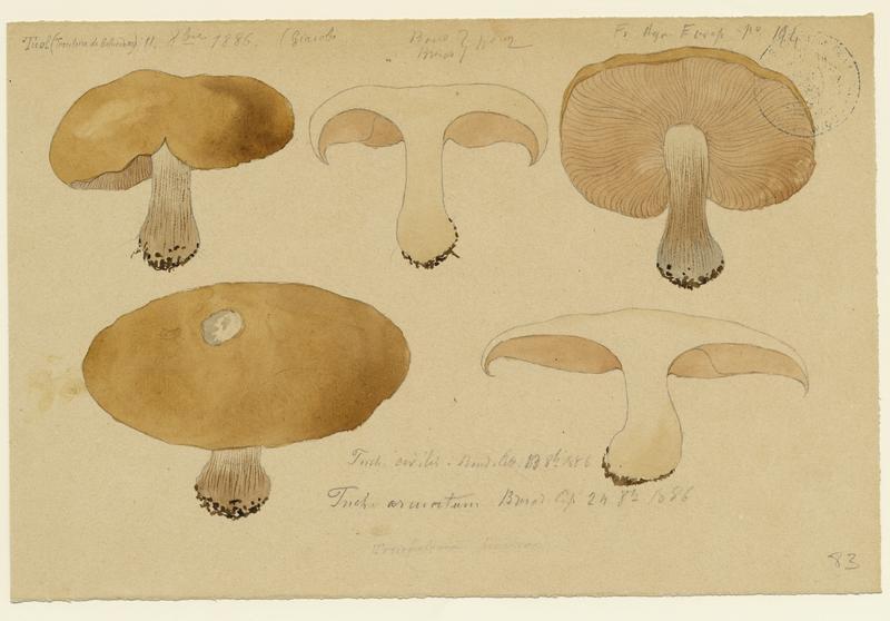 BARLA Jean-Baptiste (attribué à) : Tricholome saumoné, Melanoleuca reconnaissable, champignon