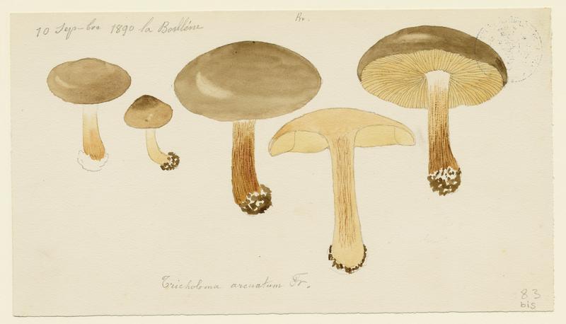 Tricholome saumoné ; Melanoleuca reconnaissable ; champignon_0