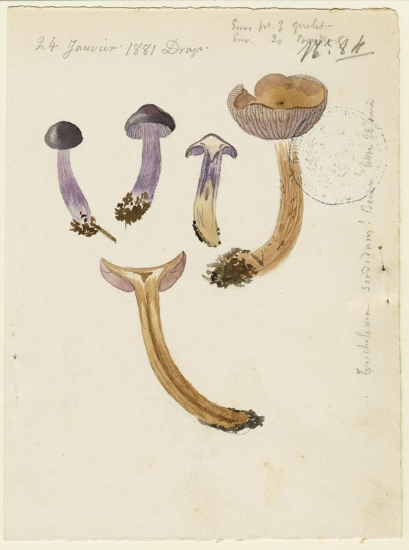 Tricholome sordide ; Lépiste sordide ; champignon