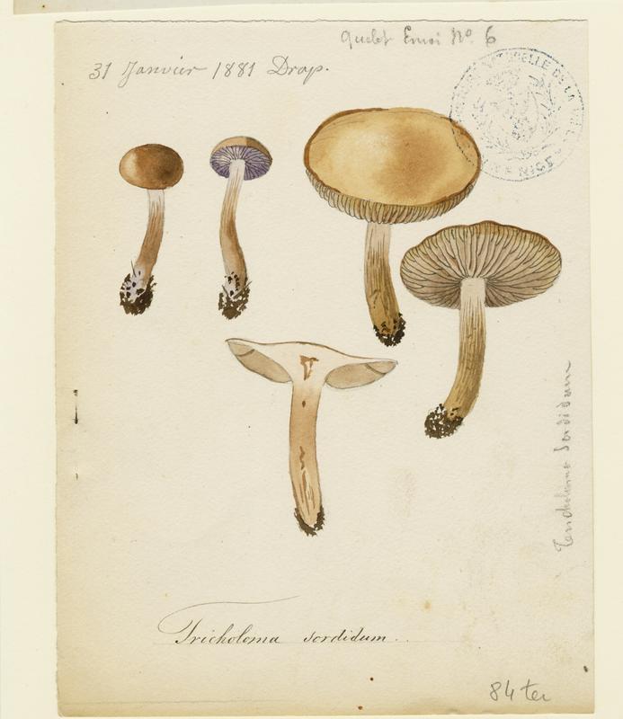 BARLA Jean-Baptiste (attribué à) : Tricholome sordide, Lépiste sordide, champignon