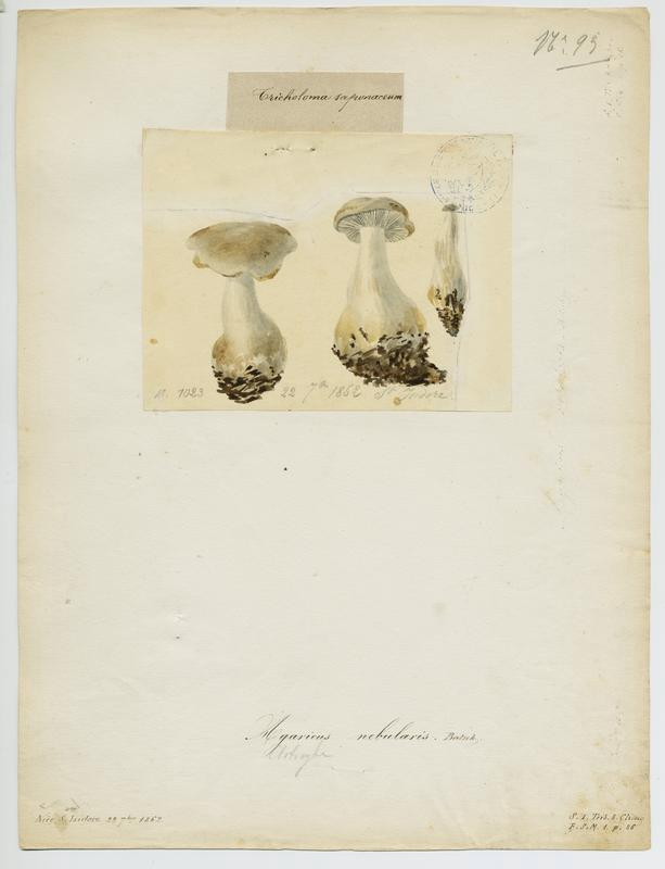 BARLA Jean-Baptiste (attribué à) : Clitocybe nébuleux ; Lera caniglia ; champignon