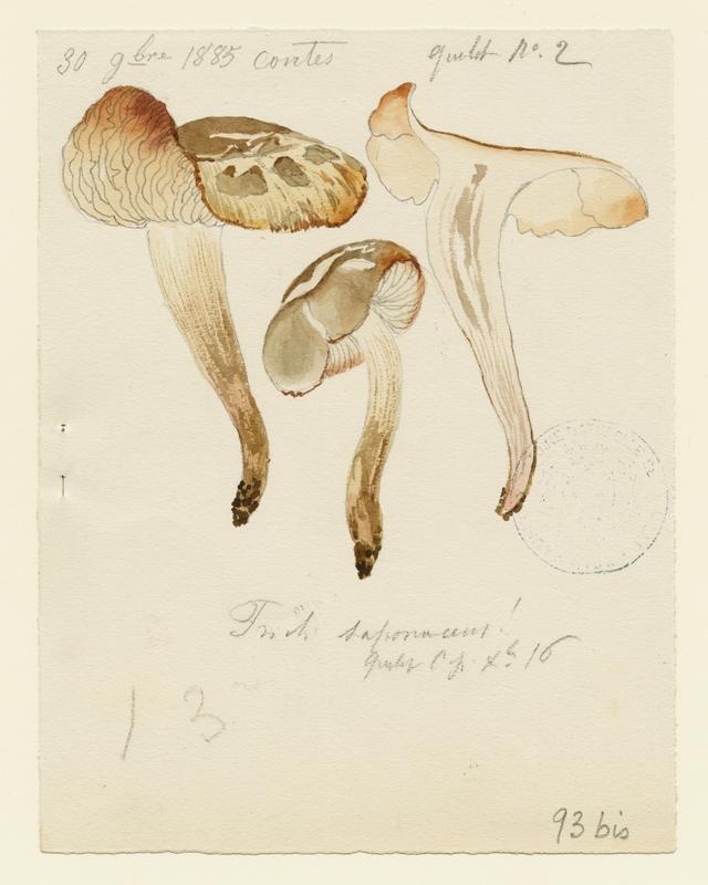 BARLA Jean-Baptiste (attribué à) : Tricholome savonneux, Tricholome à odeur de savon, champignon