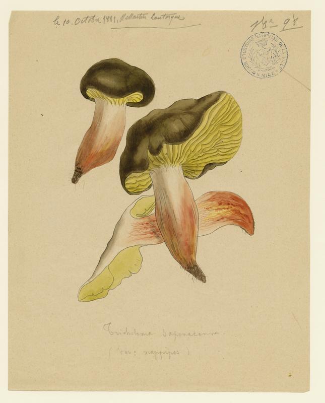 Tricholome savonneux ; Tricholome à odeur de savon ; champignon_0