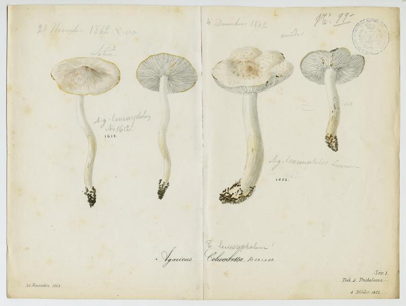 Tricholome colombette ; champignon