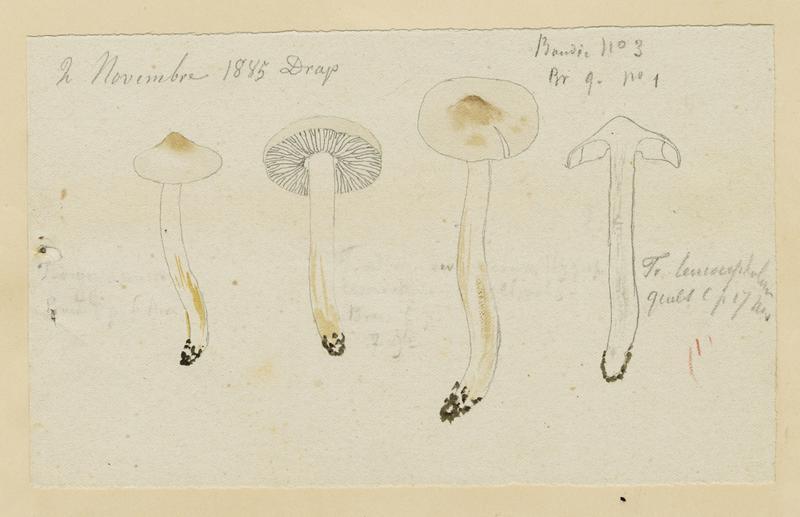 Tricholome blanc radicant ; champignon_0