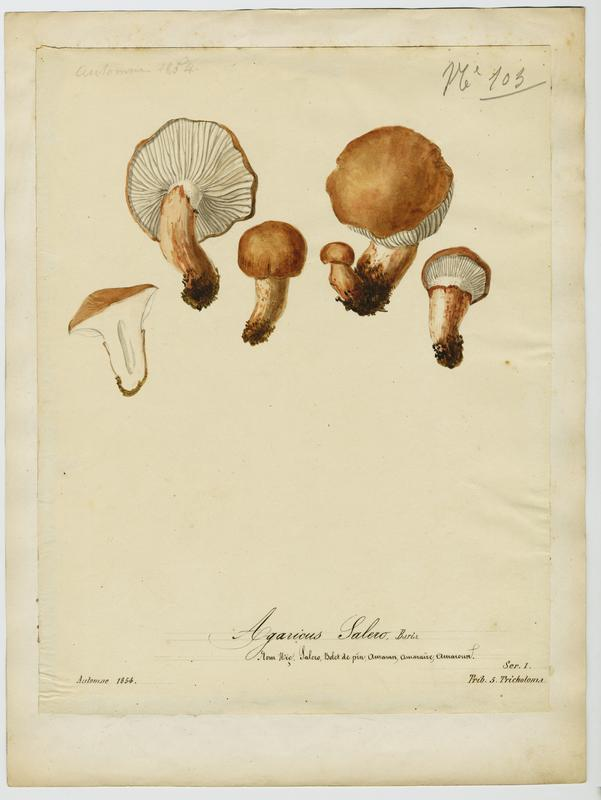 BARLA Jean-Baptiste (attribué à) : Agaric, Salero, Saler, champignon