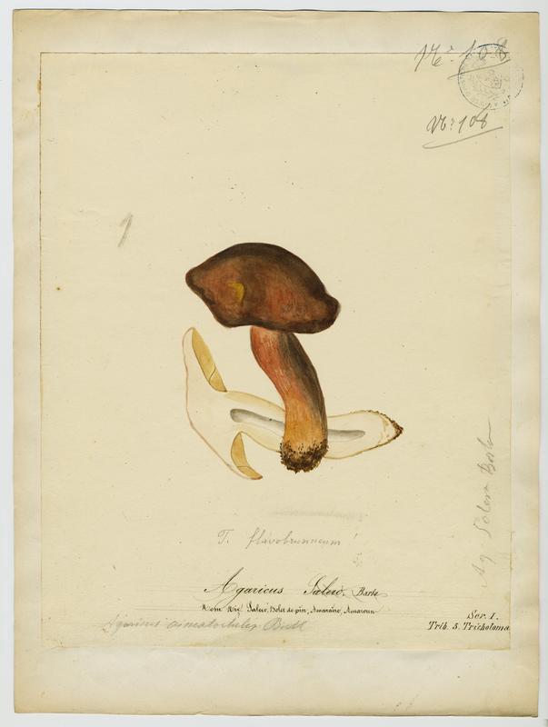 Agaric ; Salero ; Saler ; champignon_0