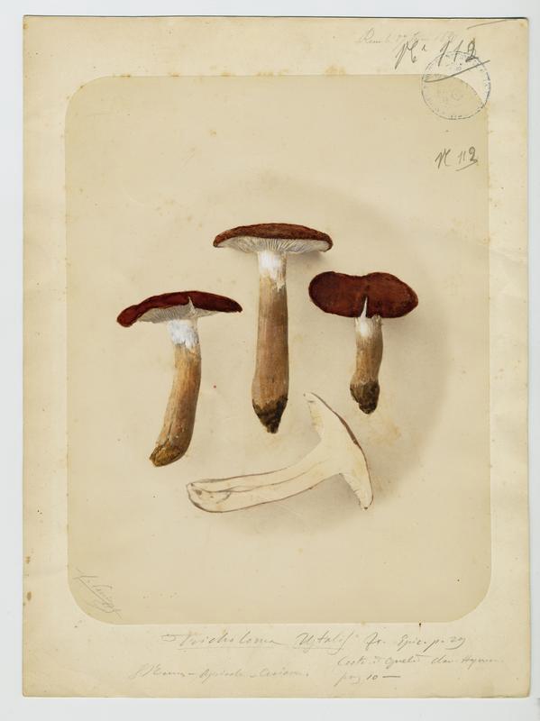 BARLA Jean-Baptiste (attribué à) : Tricholome brûlé, champignon