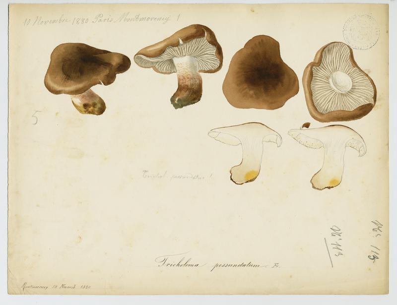 BARLA Jean-Baptiste (attribué à) : Tricholome farineux des pins, champignon
