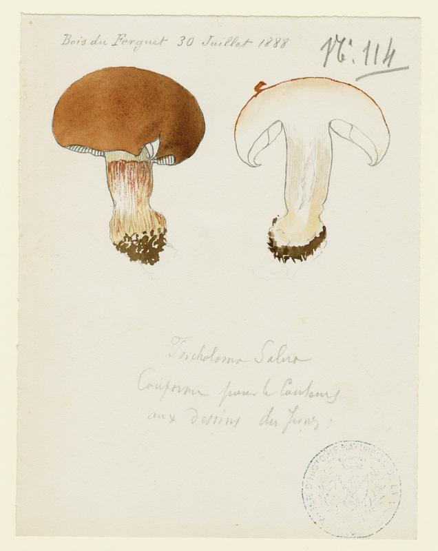 Tricholome ; champignon