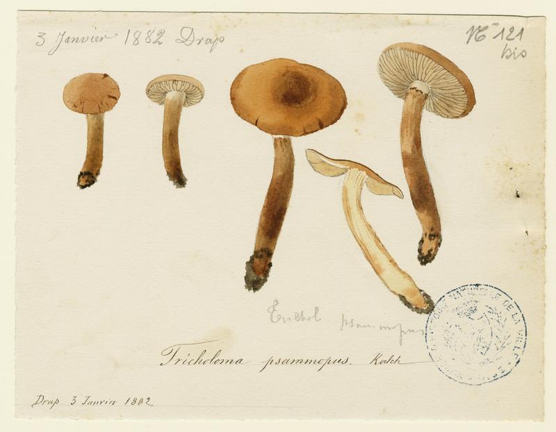 Tricholome sable ; champignon_0