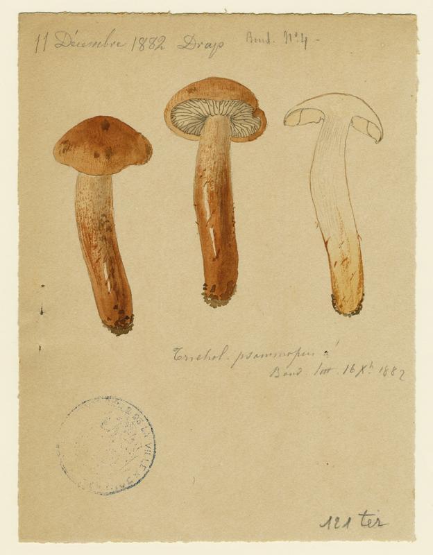 BARLA Jean-Baptiste (attribué à) : Tricholome sable, champignon