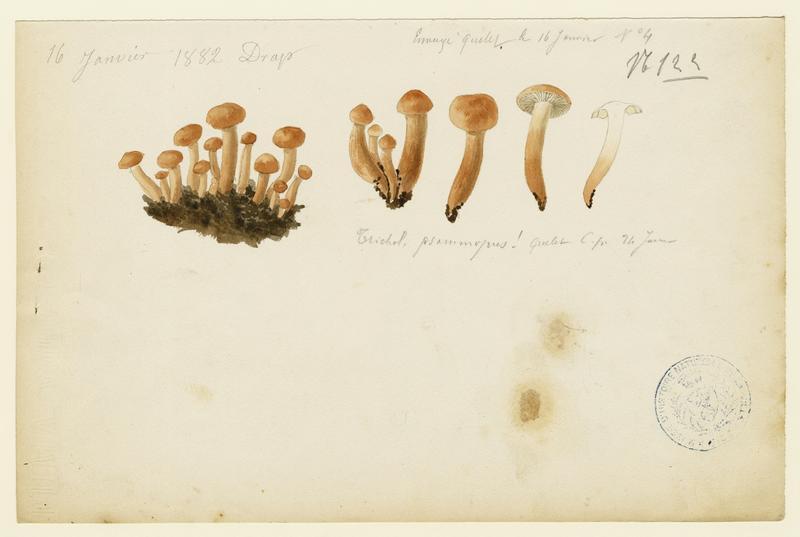 Tricholome sable ; champignon