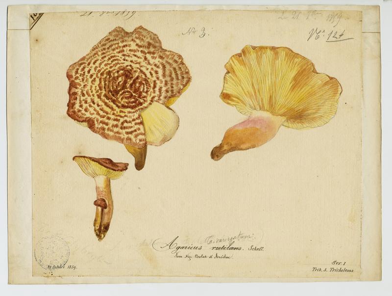 Tricholome rutilant ; Pleurote rutilant ; Bolet d'Arsilac ; champignon_0