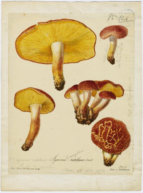 BARLA Jean-Baptiste (attribué à) : Tricholome rutilant, Pleurote rutilant, Bolet d'Arsilac, champignon