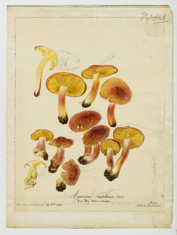Tricholome rutilant ; Pleurote rutilant ; Bolet d'Arsilac ; champignon