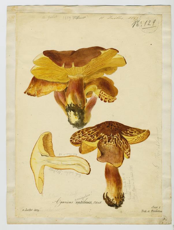 FOSSAT Vincent (aquarelliste, peintre) : Tricholome rutilant, Pleurote rutilant, Bolet d'Arsilac, champignon