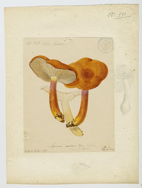 BARLA Jean-Baptiste (attribué à) : Tricholome brûlant, champignon