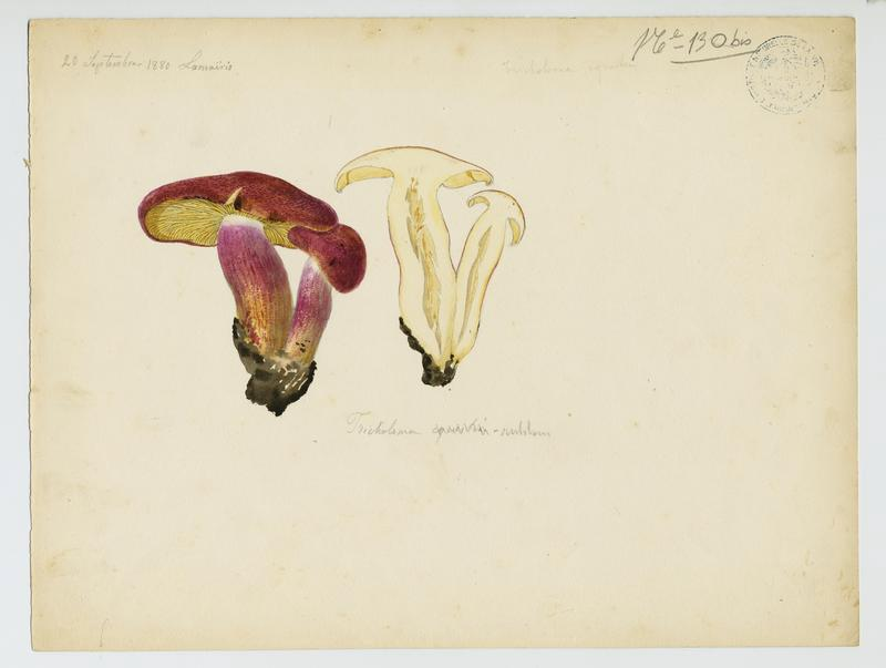 BARLA Jean-Baptiste (attribué à) : Tricholome équestre ;Tricholome des chevaliers, Tricholome Chevalier, champignon