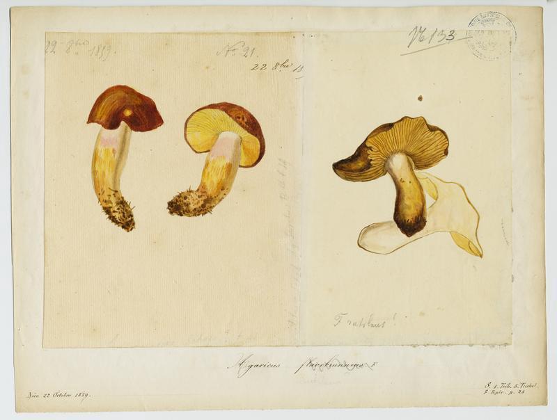 BARLA Jean-Baptiste (attribué à) : Tricholome fauve, champignon