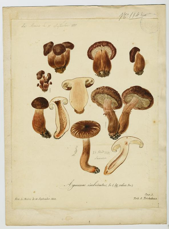 BARLA Jean-Baptiste (attribué à) : Tricholome imbriqué, champignon