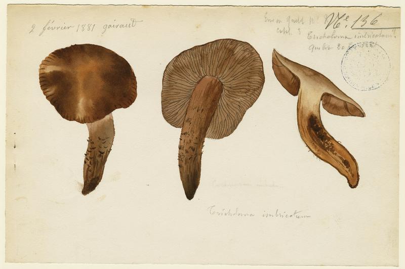 Tricholome imbriqué ; champignon