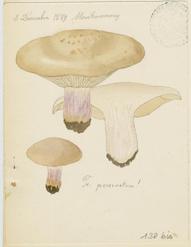 Pied-violet ; Tricholome masqué; Tricholome sinistre ; Tricholome des oies ; champignon_0