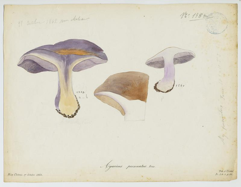 BARLA Jean-Baptiste (attribué à) : Pied-violet, Tricholome masqué; Tricholome sinistre, Tricholome des oies, champignon