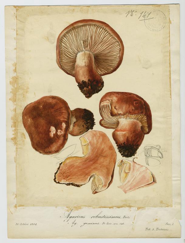 Agaric ; Baulet d'arena de la gamba grossa ; champignon