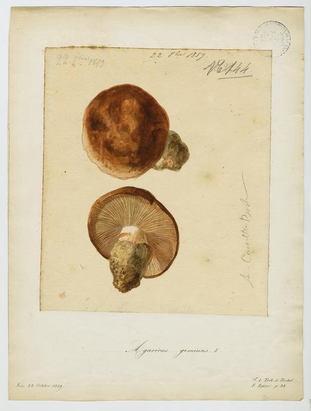 Rhodocybe tronqué ; champignon_0