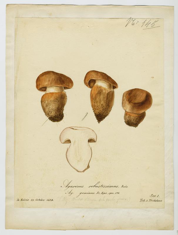 Agaric ; Baulet d'arena de la gamba grossa ; champignon_0