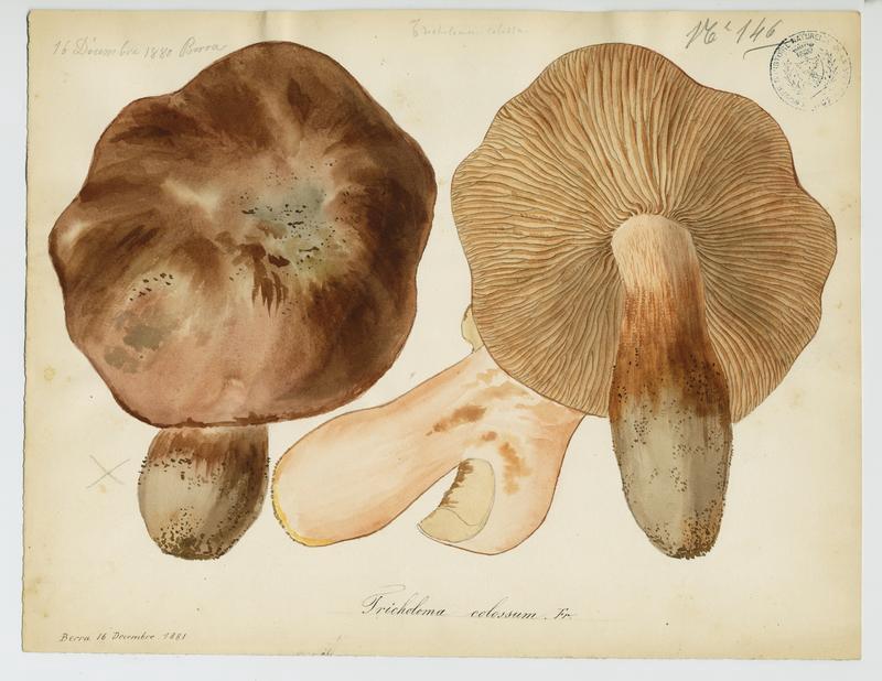 BARLA Jean-Baptiste (attribué à) : Tricholome colosse, champignon